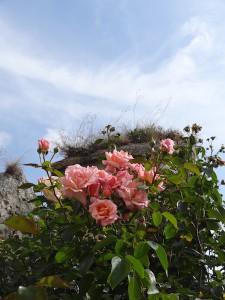 Rosen im Zwinger